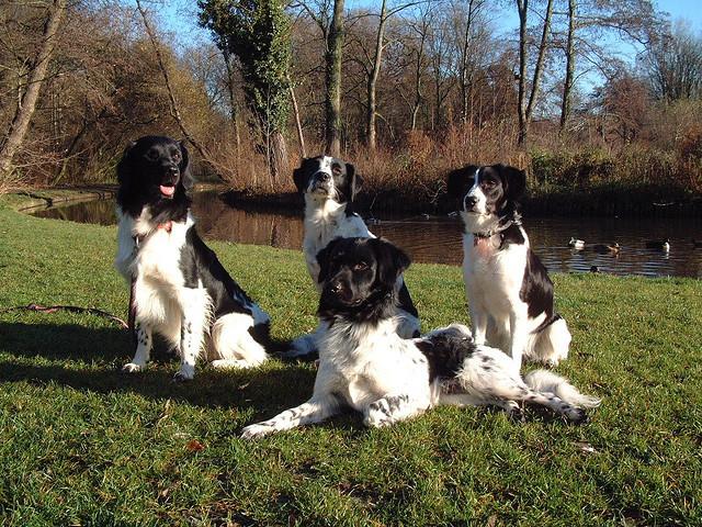 Grupa psów rasy Wyżeł fryzyjski