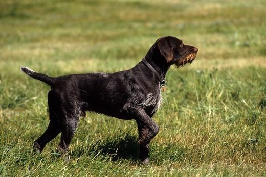 Pies wyżeł niemiecki szorstkowłosy