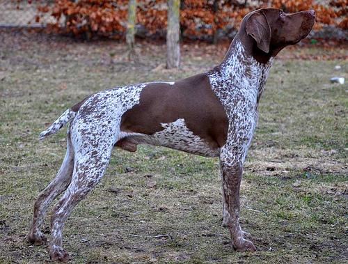 Pies wyżeł pirenejski