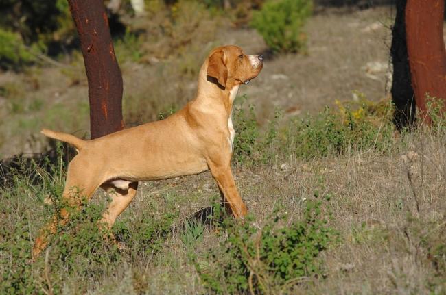 Pies myśliwski Wyżeł portugalski