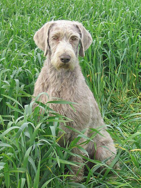 Rasa psów Wyżeł słowacki szorstkowłosy
