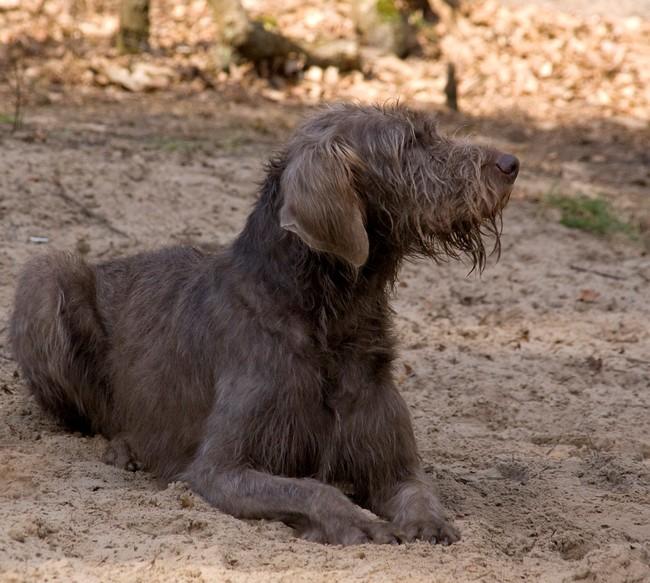 Pies Wyżeł słowcki szorstkowłosy