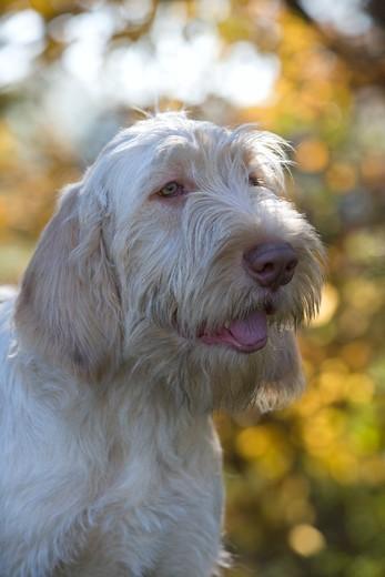 Kufa psa Spinone italiano (wyżeł włoski szorstkowłosy)