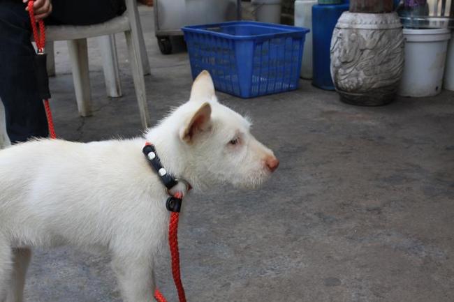 rasa psów z chin