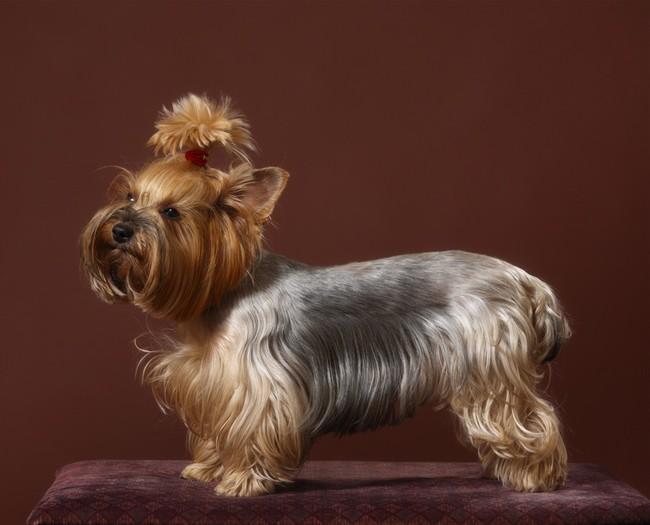 Zdjecie psa rasy York po wizycie u fryzjera