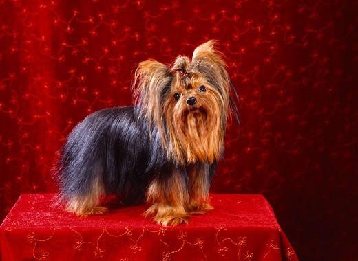 Pies rasy York