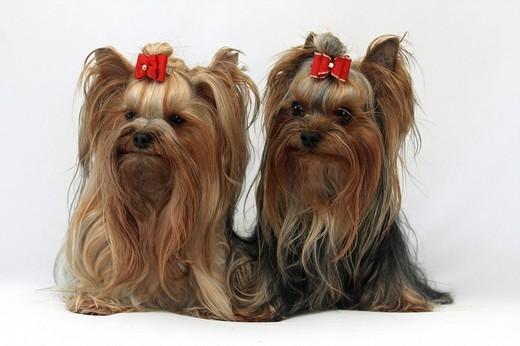 Pst rasy Yorkshire Terrier