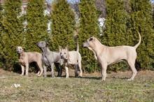grupa psów thai ridgeback
