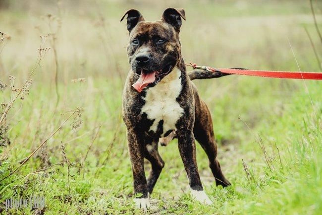 Pies Amstaf pregowany do adopcji czeka w schronisku