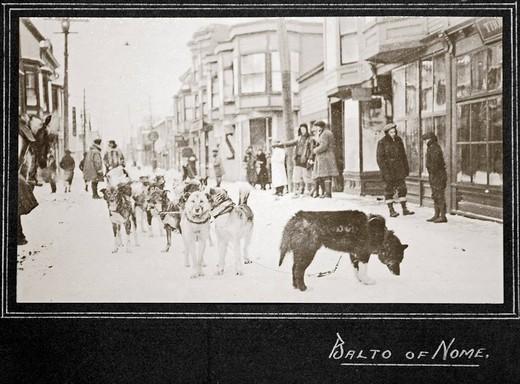 Pies zaprzęgowy (lider) o imieniu Balto