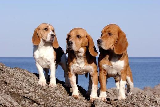 Małe psy gończe Beagle