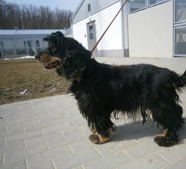 Rozi rasy Cocker spaniel do adopcji w Koszalińskim schronisku dla zwierząt