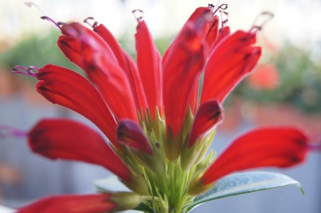 [Obrazek: eschynantus-kwiat-z-bliska613.jpg]