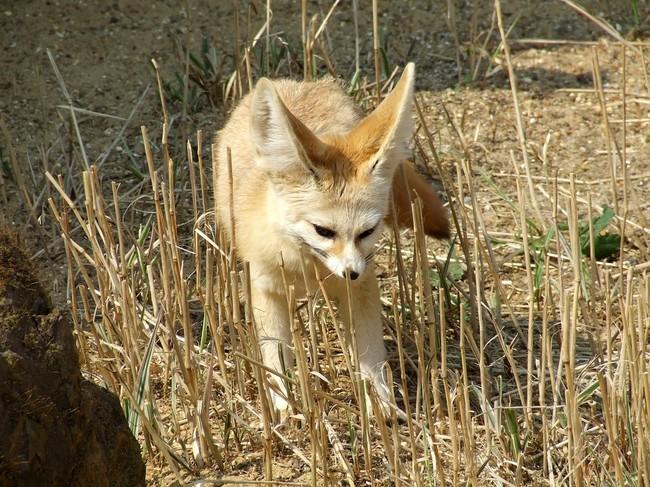[Obrazek: fenek-vulpes-zerda1527.jpg]