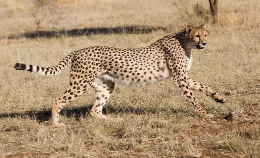 [Obrazek: gepard-polujacy-namibia600.jpg]