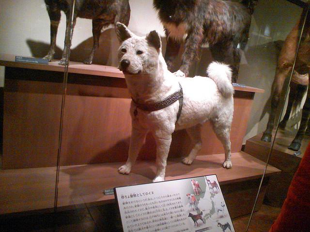 Symbol psie wierności Hachiko