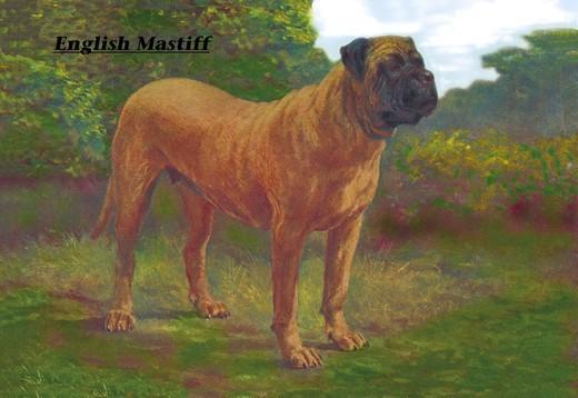 Pies z grupy molosów Mastif angielski
