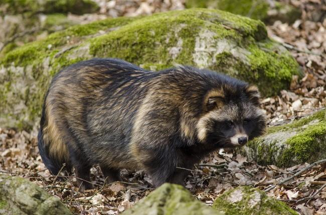 Jenot drapieżny ssak z rodziny psowatych