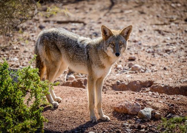 Kojot drapieżny ssak z rodziny psowatych