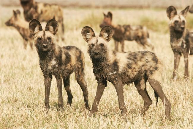Dzikie psy afryki likaony