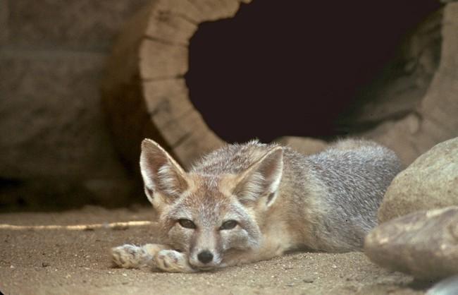 [Obrazek: lis-dlugouchy-lis-wielkouchy-vulpes-macrotis1501.jpg]