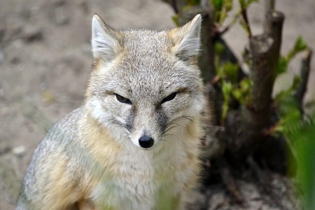 [Obrazek: lis-plowy-korsak-amerykanski-vulpes-velox1574.jpg]