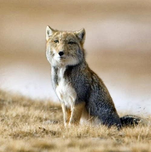[Obrazek: lis-tybetanski-vulpes-ferrilata1532.jpg]