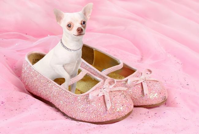 Mały piesek Chihuahua