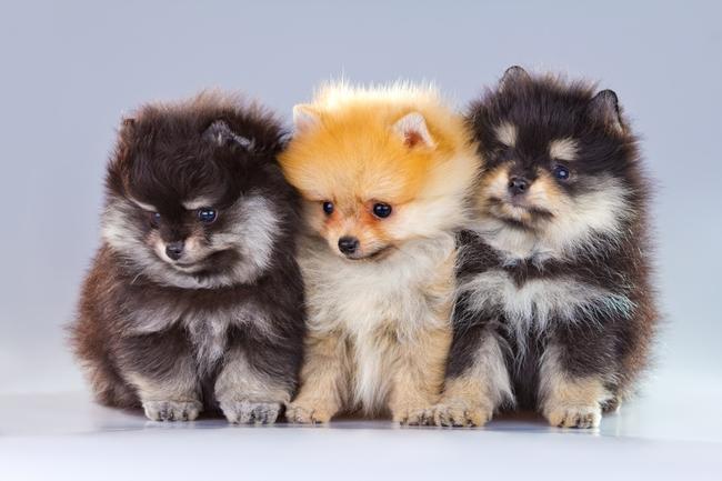 W Mega Miniaturki psów AG19