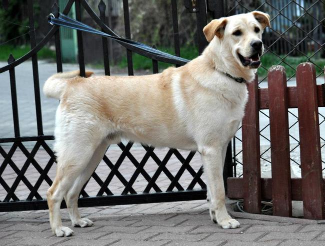Młody mix Labradora do adopcji w schronisku