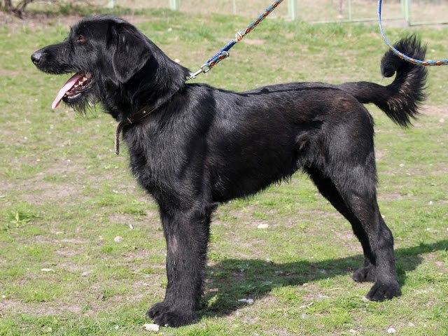 Pies Ramzes do adopcji w bydgoskim schronisku