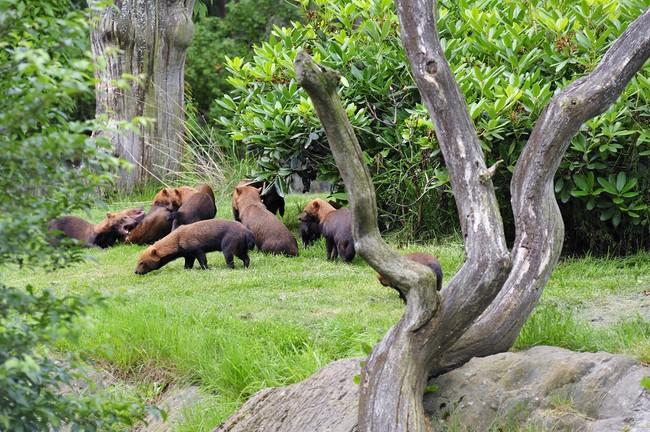 grupa Psów leśnych w ZOO