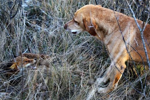 Pies polujący na lisa