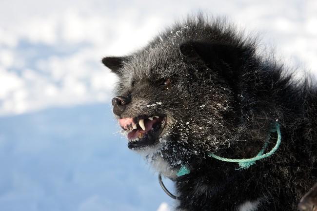 Pies zaprzęgowy na biegunie północnym