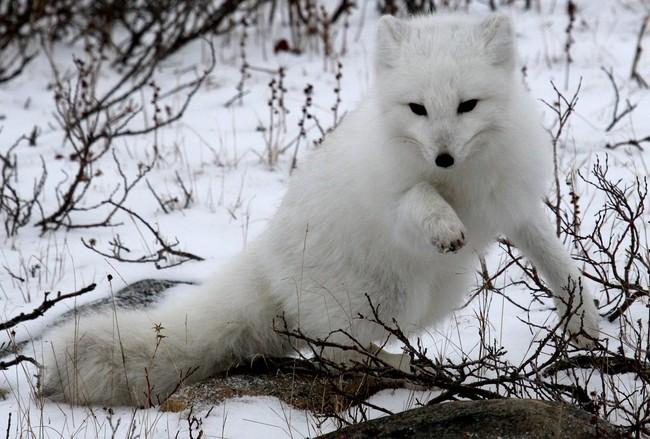 [Obrazek: piesiec-lis-polarny-piesak-vulpes-lagopus1506.jpg]