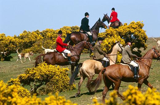 polowanie konne z psami myśliwskimi