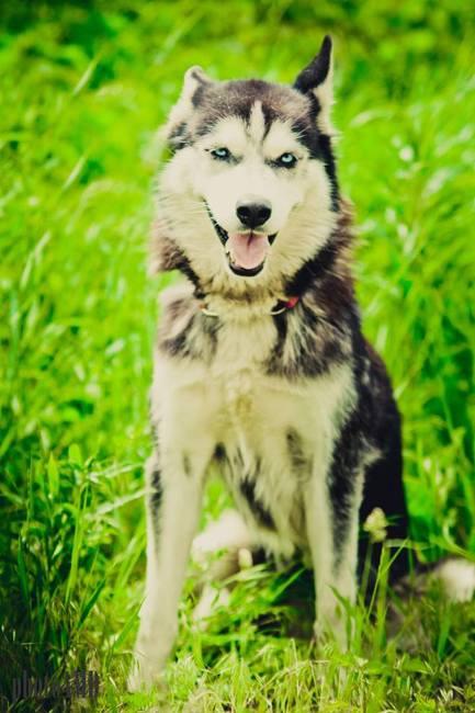 Miła i sympatyczna suczka Husky do adopcji
