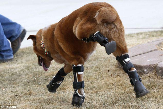 Pies Naki o poruszający się na sztucznych protezach