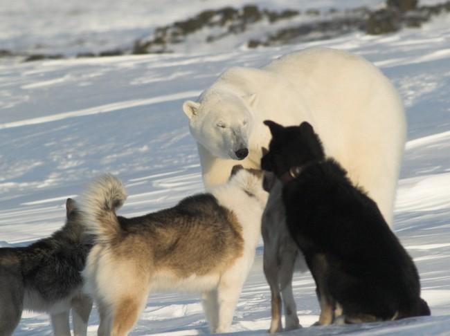 psy północy z białym niedźwiedziem polarnym