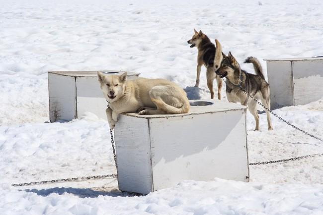 Polskie psy na Spitsbergenie