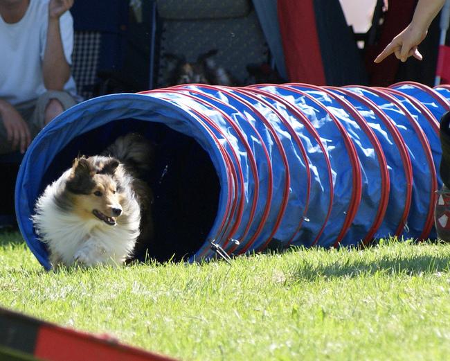 Zawody agility Owczarek szetlandzki pokonujący tunel