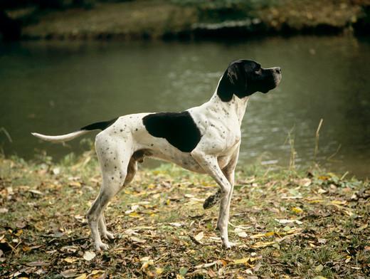 Stójka u psa myśliwskiego rasy Pointer
