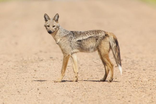 Szakal pręgowany drapieżny ssak z rodziny psowatych