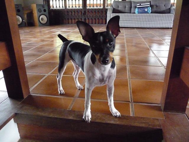 Pies rasy Terier brazylijski