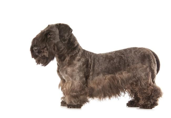 Pies Terier szkocki