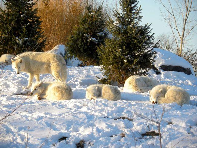 wataha wilków arktycznych w ZOO