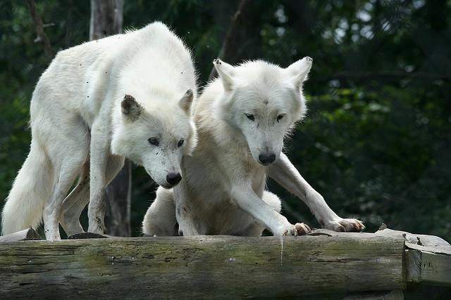 [Obrazek: wilk-arktyczny-canis-lupus-arctos565.jpg]