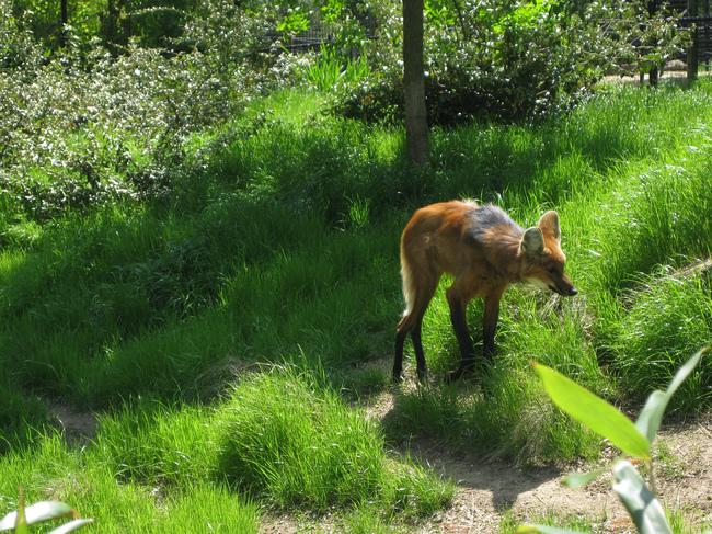 Wilk grzywiasty w ogrodzie zoologicznym.