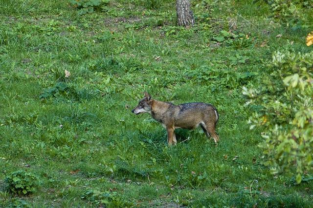 [Obrazek: wilk-italijski-canis-lupus-italicus1259.jpg]