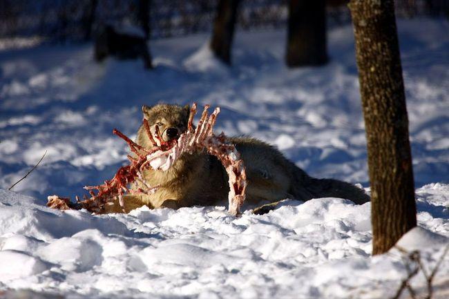 Wilk jedzący szczątki łosia w parku Omega, Kanada